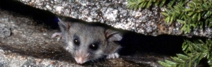 Hero_peaking-mountain-pygmy-possum.pg_940_300_c1